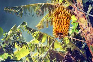 La Compagnie fruitière met le cap sur l'agriculture biologique pour ces bananeraies en Afrique